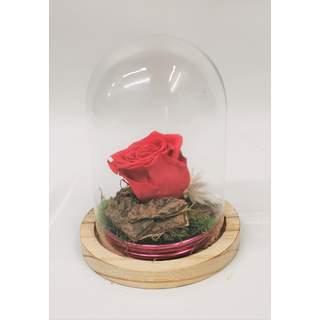 Rose Fushia stabilisée sous cloche