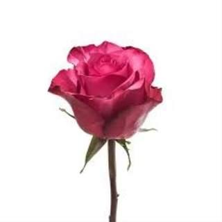 Bouquet de roses fushia
