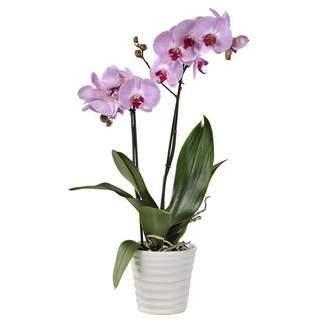 Pastel -Orchidée rose